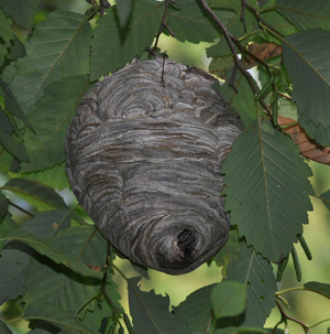 Bald Faced Hornet Nest in St. Louis